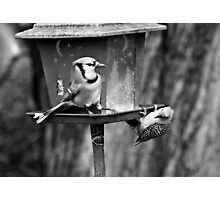 Captain Blue Jay at your service Photographic Print
