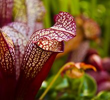 Cobra Lilies by papillonphoto