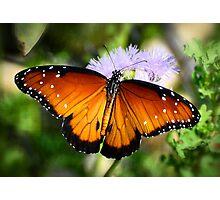 Queen Butterfly on Flower Photographic Print