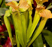 Peridot coloured cobra lilies by papillonphoto