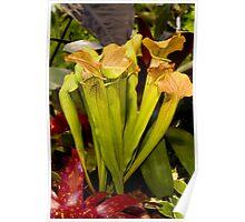 Peridot coloured cobra lilies Poster