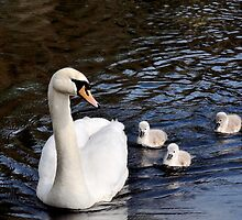 Swan With Cygnets by Jim Wilson