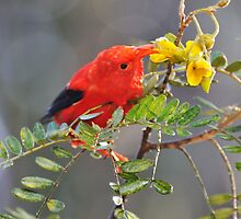 'I'iwi bird extracting nectar from yellow tree flowers in Maui, Hawaii by Sami Sarkis