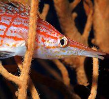 Longnose Hawkfish (Oxycirrhites typus) hides in Sea Fan by Sami Sarkis