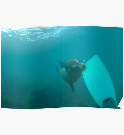 Sea lion biting a diver flipper, Underwater Poster