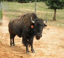 Buffalo Bison bull by ack1128