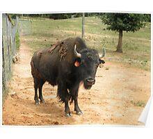 Buffalo Bison bull Poster