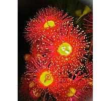 Eucalyptus flower zinging Photographic Print