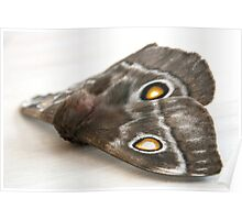 Side view of moth Poster