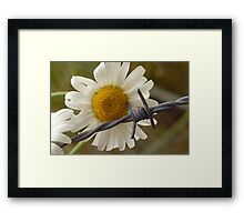Daisy Irony - A Study in Contrast Framed Print