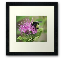 Bee Balm and Bumble Framed Print