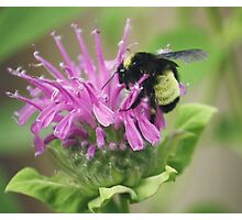 Bee Balm and Bumble Photographic Print