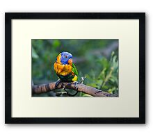 Colourful Character - Rainbow lorikeet Framed Print