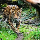 Woodland Park Jaguar by Dana Horne