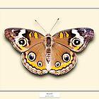 Buckeye Butterfly - Specimen style print by Mark Podger
