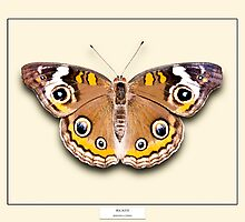 Buckeye Butterfly - Specimen style print by Mark Podger