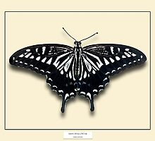 Asian Swallowtail Butterfly - Specimen style print by Mark Podger