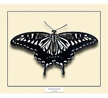 Asian Swallowtail Butterfly - Specimen style print Photographic Print