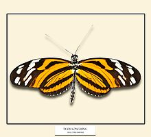 Tiger Longwing Butterfly - Specimen style print by Mark Podger