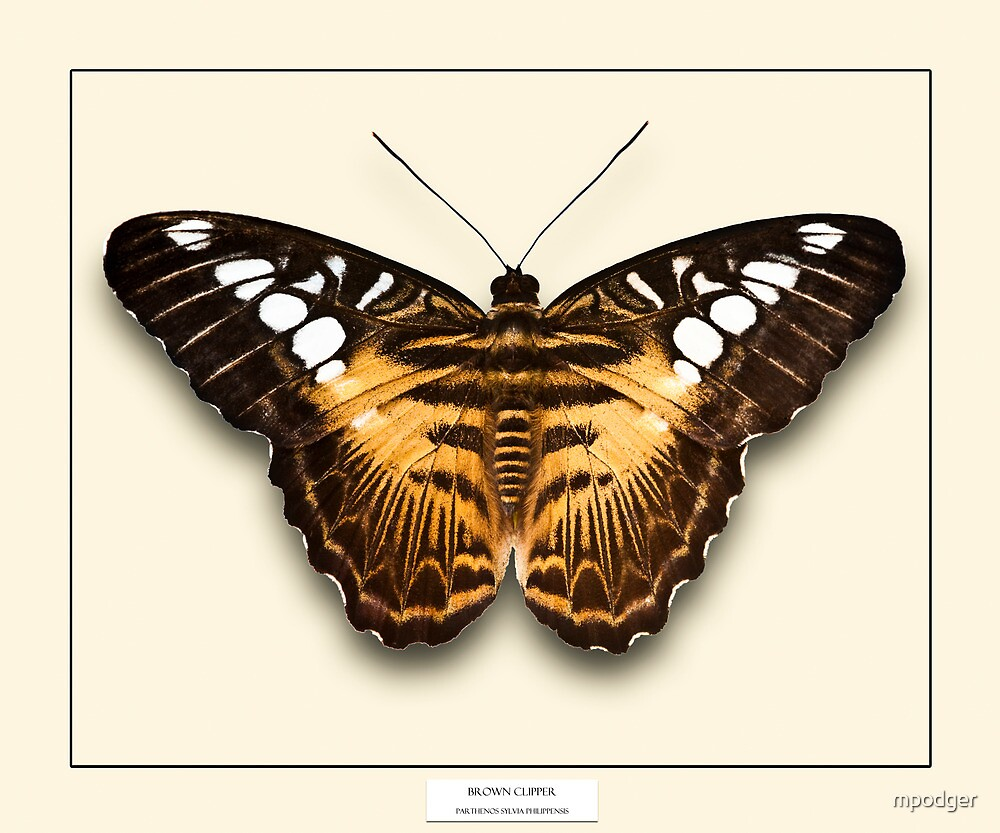 Brown Clipper Butterfly - Specimen style print by Mark Podger