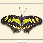 Malachite Butterfly - Specimen style print by Mark Podger