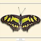 Malachite Butterfly - Specimen style print by Mark Podger