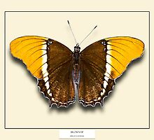 Browntip Butterfly - Specimen style print  by Mark Podger