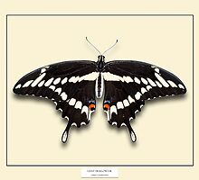 Giant Swallowtail Butterfly - Specimen style print by Mark Podger