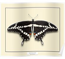 Giant Swallowtail Butterfly - Specimen style print Poster