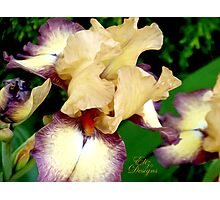 Lovely Burgundy Iris Photographic Print