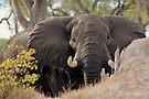 Savuti giant by Explorations Africa Dan MacKenzie