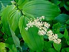 False Solomon's Seal - Maianthemum racemosum by MotherNature