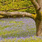 Bluebell woods by Margaret S Sweeny