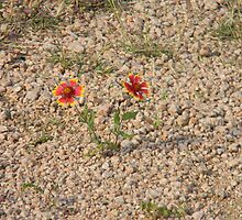 Irrepressible Indian Blanket by Navigator