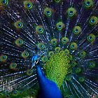 Peacock Display by adbetron