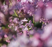 Lavender Dream by Stephen Thomas