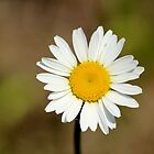 A Daisy for my Darling by Rosanne Jordan