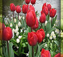 Velvety Red Tulips and White Muscari - Keukenhof Gardens by Kathryn Jones