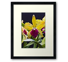 Yellow pink Cattleya orchid  Framed Print