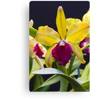 Yellow pink Cattleya orchid  Canvas Print