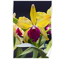 Yellow pink Cattleya orchid  Poster