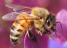 Honey Bee by Betsy  Seeton