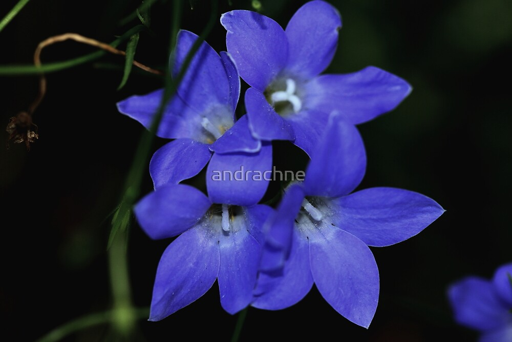 Wahlenbergia gracilis  by andrachne