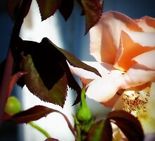 Rose  in  Autumn by jainiemac