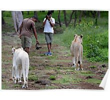 Walking with Lions in Mauritius Poster