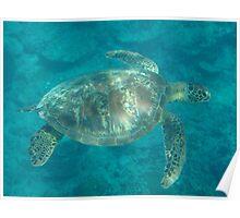 Samoa Turtle Poster