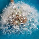 Water droplets on dandelion seedhead by Photos - Pauline Wherrell