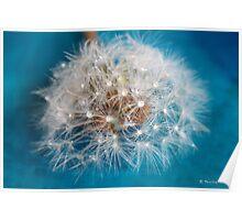 Water droplets on dandelion seedhead Poster