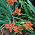 Orange Lily  by Tracey Hampton