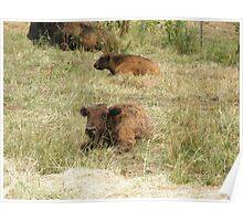 Baby Buffalo Bison Poster